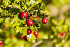 Ripe red fruit of hawthorn Royalty Free Stock Photo