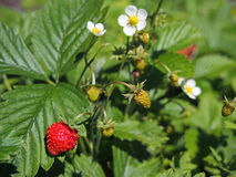 Ripe red fruit of strawberry plant Stock Images