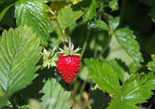 Ripe red fruit of strawberry plant Royalty Free Stock Photos