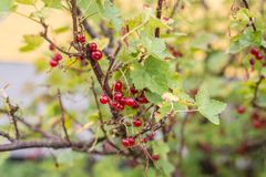 Ripe red fruits on a currant bush.  stock images