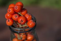 Ripe red fruits of mountain ash Sorbus aucuparia are located i. N the old glass bottle. Close-up Royalty Free Stock Image