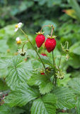Ripe red fruits of strawberry plant Stock Photography