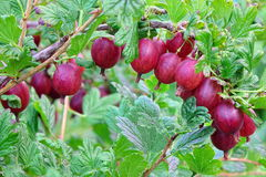 Ripe Red Gooseberries Fruits On Shrub Twig In Commercial Garden stock photography