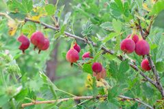 Ripe red gooseberry on branch at garden in summer royalty free stock image