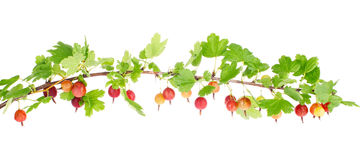 Ripe red gooseberry on branch with green leaves Royalty Free Stock Images