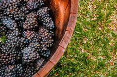 Ripe red grape in oak wine barrel for wine making royalty free stock images
