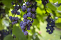 Ripe red grape in vineyard. Stock Photos