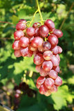 Ripe red grape Royalty Free Stock Photography