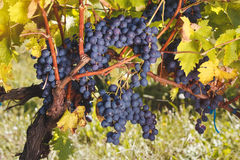 Ripe red grapes on ancient vine Royalty Free Stock Photos