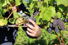 Ripe Red Grapes. Close up of ripe, red grapes being harvested Stock Photos