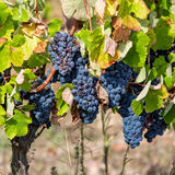 Ripe Red Grapes with Green Leaves on the Grapevine Stock Photography