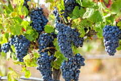 Ripe Red Grapes with Green Leaves on the Grapevine Royalty Free Stock Photo
