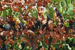 Ripe red grapes on the vine, Spain. Stock Photos