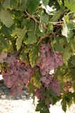 Ripe red grapes on the vine, Spain. Ripe red grapes on the vine near Jerez de la Frontera, Cadiz Province, Andalusia, Spain, Western Europe Stock Images