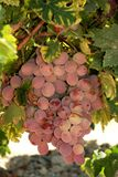 Ripe red grapes on the vine, Spain. Stock Image