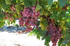 Ripe red grapes on the vine, Spain. Ripe red grapes on the vine near Jerez de la Frontera, Cadiz Province, Andalusia, Spain, Western Europe Royalty Free Stock Photo