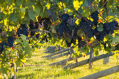 Ripe red grapes on vine in vineyard. Closeup up of ripe red grapes on vine in vineyard Royalty Free Stock Photography