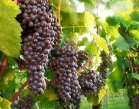 Ripe red grapes in a vineyard. Red grapes ready to be harvested, with the sunlight beautifully shining through the vine leaves Royalty Free Stock Images