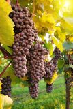 Ripe red grapes in a vineyard royalty free stock photography