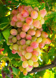 Ripe red and green grapes on vine Stock Photos