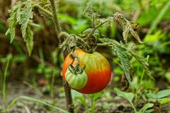 Ripe red and green tomato on a bush branch Stock Photos