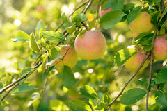 Ripe red,green and yellow apples with leaves on apple tree branch Royalty Free Stock Photos