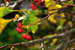 Ripe red hawthorn berries - in Latin Crataegus- on the bush, autumn landscape Royalty Free Stock Images