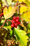 Ripe red hawthorn berries - in Latin Crataegus- on the bush under the sunlight Royalty Free Stock Photos