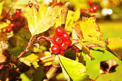 Ripe red hawthorn berries - in Latin Crataegus- on the bush under the sunlight Stock Images