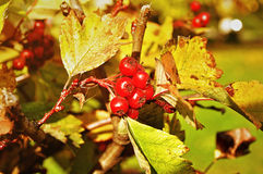 Ripe red hawthorn berries - in Latin Crataegus- on the bush under the sunlight Royalty Free Stock Photo