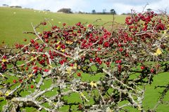 Ripe red hawthorn berry bush, Crataegus monogyna. Close-up of a ripe red hawthorn berry bush with about two hundred red berries on it, Crataegus monogyna, in royalty free stock photo