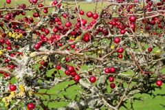 Ripe red hawthorn berry bush, Crataegus monogyna. Close-up of a ripe red hawthorn berry bush with about two hundred red berries on it, Crataegus monogyna, in royalty free stock photography