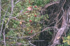 Ripe red lingonberry, partridgeberry, or cowberry grows in pine. Forest with white moss background - vintage film look Stock Photo