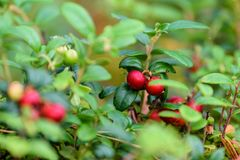 Ripe red lingonberry, partridgeberry, or cowberry grows in pine. Forest with white moss background stock images
