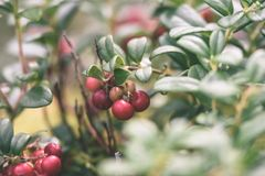 Ripe red lingonberry, partridgeberry, or cowberry grows in pine. Forest with white moss background - vintage effect Stock Photo