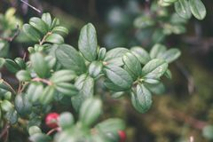 Ripe red lingonberry, partridgeberry, or cowberry grows in pine. Forest with white moss background - vintage effect Royalty Free Stock Photography