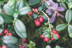 Ripe red lingonberry, partridgeberry, or cowberry grows in pine. Forest with white moss background - vintage effect Royalty Free Stock Photo