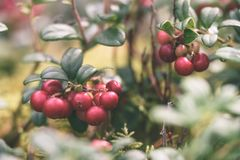 Ripe red lingonberry, partridgeberry, or cowberry grows in pine. Forest with white moss background - vintage effect Royalty Free Stock Photos