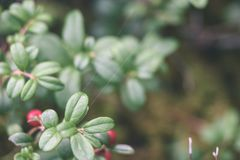 Ripe red lingonberry, partridgeberry, or cowberry grows in pine. Forest with white moss background - vintage effect Stock Images