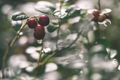 Ripe red lingonberry, partridgeberry, or cowberry grows in pine. Forest with white moss background - vintage effect Stock Image