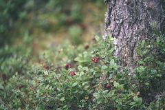 Ripe red lingonberry, partridgeberry, or cowberry grows in pine. Forest with white moss background - vintage film look Stock Photography