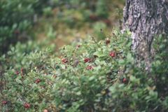 Ripe red lingonberry, partridgeberry, or cowberry grows in pine. Forest with white moss background - vintage film look Stock Image