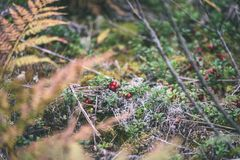 Ripe red lingonberry, partridgeberry, or cowberry grows in pine. Forest with white moss background - vintage film look Stock Photos