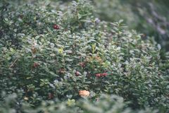 Ripe red lingonberry, partridgeberry, or cowberry grows in pine. Forest with white moss background - vintage film look Royalty Free Stock Photo