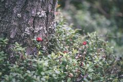 Ripe red lingonberry, partridgeberry, or cowberry grows in pine. Forest with white moss background - vintage film look Royalty Free Stock Photography