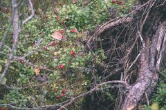 Ripe red lingonberry, partridgeberry, or cowberry grows in pine. Forest with white moss background - vintage film look Royalty Free Stock Photos
