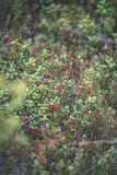 Ripe red lingonberry, partridgeberry, or cowberry grows in pine. Forest with white moss background - vintage film look Royalty Free Stock Image
