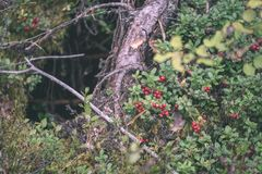 Ripe red lingonberry, partridgeberry, or cowberry grows in pine. Forest with white moss background - vintage film look Stock Images