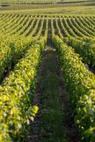 Ripe red Merlot grapes on rows of vines in a vienyard before the wine harvest in Saint Emilion region. France royalty free stock photo