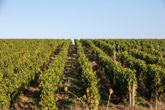 Ripe red Merlot grapes on rows of vines in a vienyard before the wine harvest in Saint Emilion region. France stock photography
